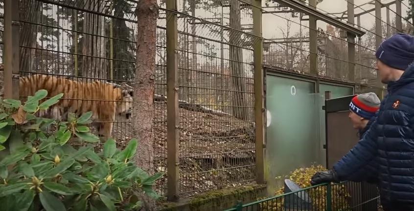 Jokerit tutustumassa Amurin tiikereihin
